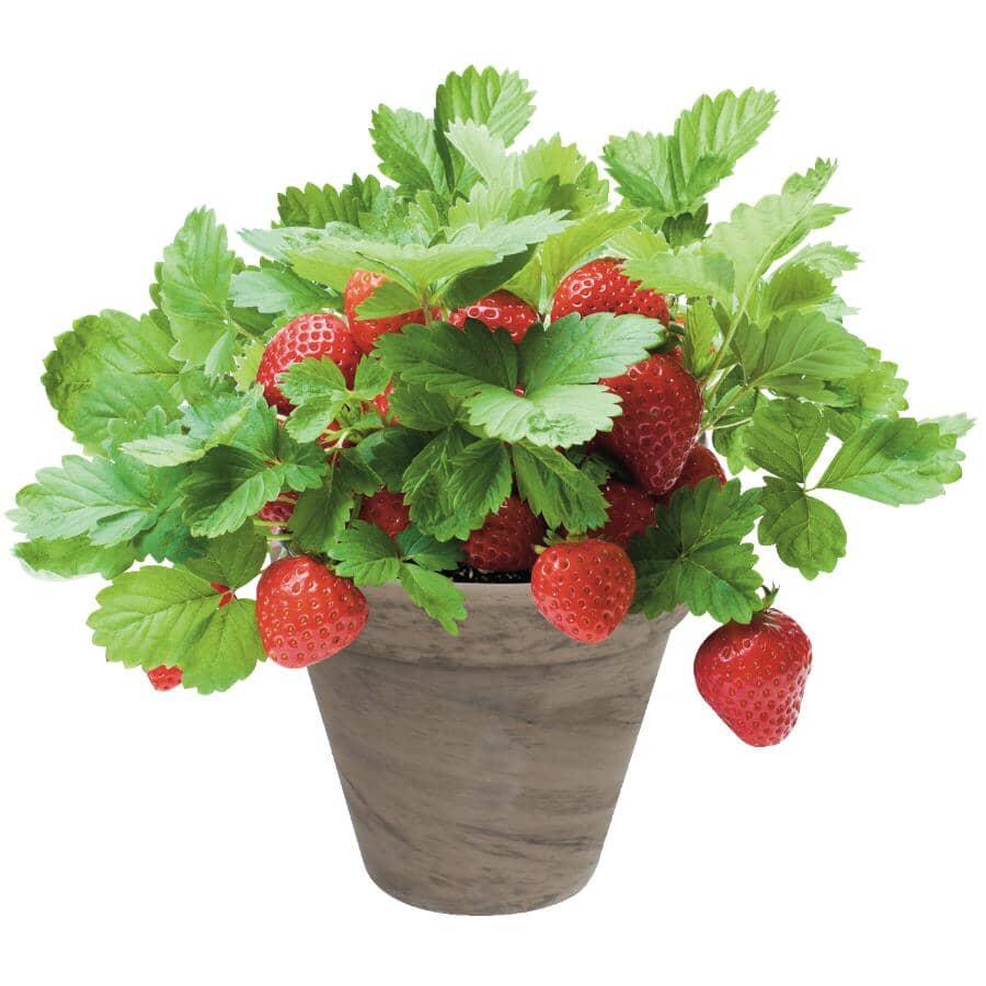 TOTAL GREEN:Strawberry Grow Kit