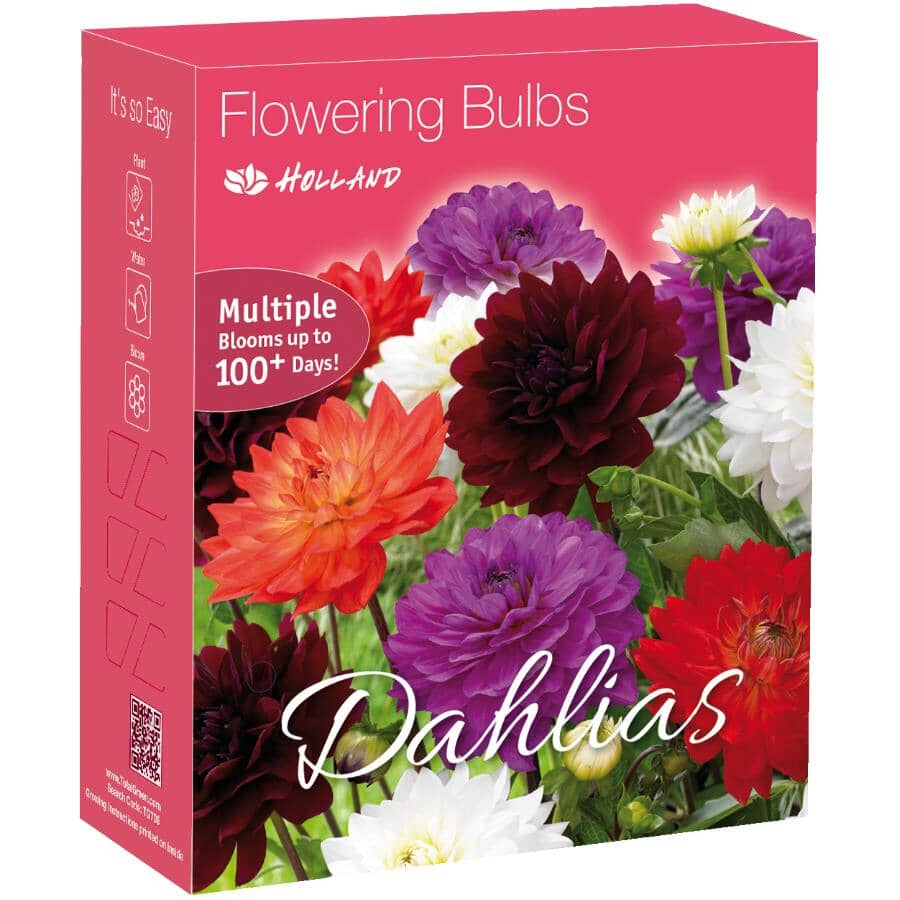 TOTAL GREEN:Purple, White, and Red Dahlia Flowering Bulbs