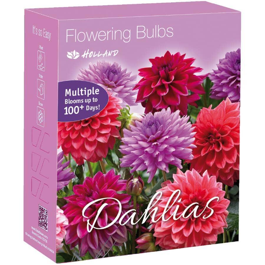TOTAL GREEN:Assorted Purple Dahlia Flowering Bulbs