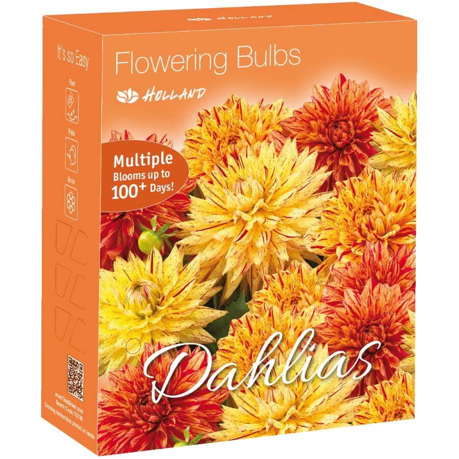 TOTAL GREEN:Yellow and Orange Dahlia Flowering Bulbs